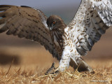 Short-toed Eagle 8845