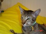 Blackie fick ingen kull vecka 6 2008 Magical Lucky hane dog tyvärr o Blackie är nu kastrerad pga av inflammation i livmodern.jpg