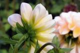 Visit to Swan Island Dahlias