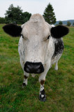 Mean Looking Vosges Cow