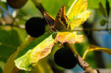 Swallowtail Butterfly on an Autumn Fig Leaf
