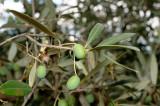 Valvori Olives