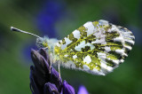 Orange Tip Butterfly on Bluebell