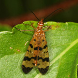 Mecoptera : Scorpionflies, Hangingflies and Allies