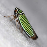 True Bugs : Hemiptera