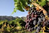 Wineyard in Montsant