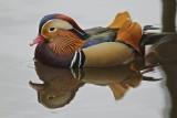 Mandarinand / Mandarin Duck