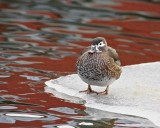 Brudand / Wood Duck