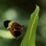 papillon à identifier!