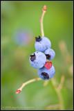 _ADR1869 blueberry wf.jpg