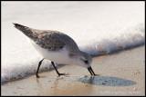 _MG_9995 sanderling wf.jpg
