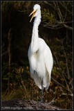 _ADR0027 karate kid egret wf.jpg