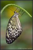 _MG_1180 butterfly wf.jpg