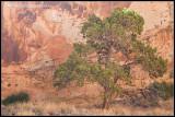 _ADR6795 canyon wall tree wf.jpg