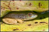 _ADR1675 froggy wf.jpg