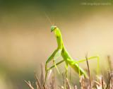 _ADR1031 praying mantis 11x14 wf.jpg