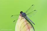 _ADR1035 dragonfly wf.jpg