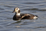 Long-tailed Duck at Village Creek Drying Beds