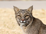 Bobcat one block from home!