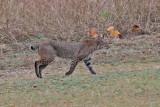 Bobcat in Breckinridge Park