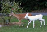 Deer Around My House