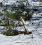 Birch Beaver Chew