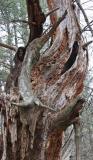 Fisher Tree