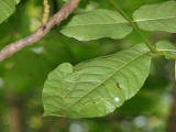 elm.leaves.2175.jpg
