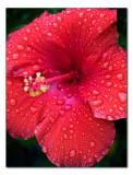sep 12 hibiscus