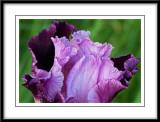 may 29 pink iris