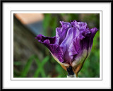 may 27 newer iris