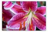 july 27 star lily