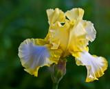 june 1 yellow iris