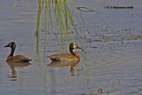 White-faced Whistling Duck (Dendrocygna viduata)