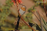 Gurney's Sugarbird (Promerops gurneyi)