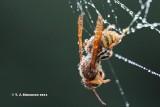 Giant hornet (Vespa crabo)