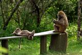 Baboons chilling