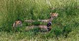 Wary cheetahs