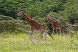 Rothschild's giraffes
