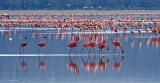 March of the Flamingos
