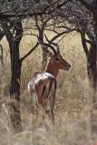 Impala among trees