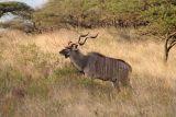 Male greater kudu, following