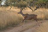 Female greater kudu, airborne
