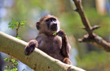 Baboon at leisure