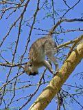 Baboon departing