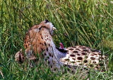 Cheetah, yawning