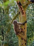 Baboon climbing tree