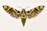 Moth (S)