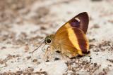 Hasora schoenherr chuza (Yellow Banded Awl)