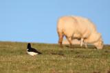 Small Bird, Big Sheep!